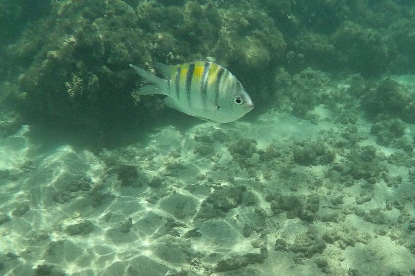 Alagoas pez