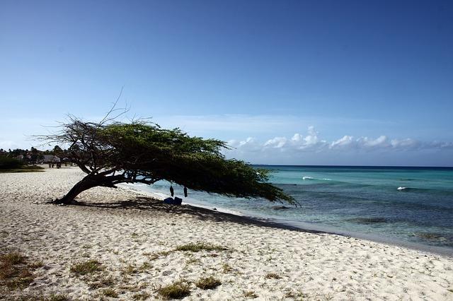 Aruba dividivi
