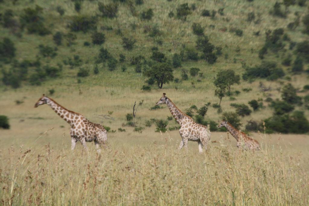 Fila Jirafas Pilanesberg Sudafrica