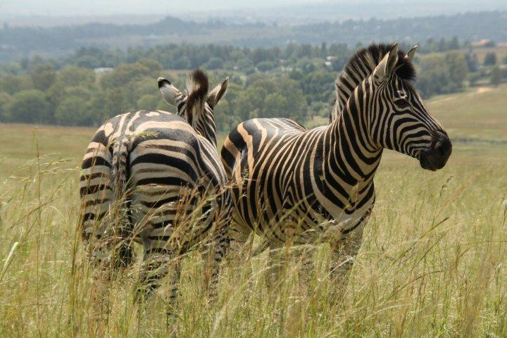 Zebras Pilanesberg