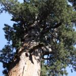 árbol secoya