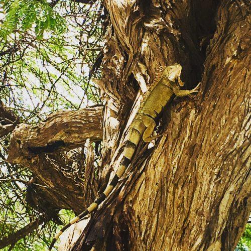 15 fotos Aruba Iguana