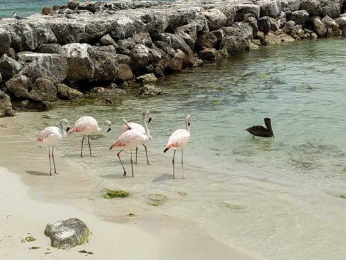 Aruba Flamencos en DePalm Island