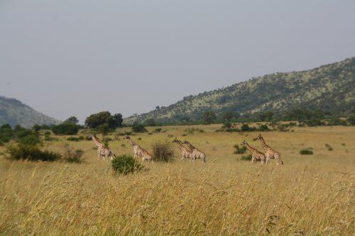 Fila de Jirafas Pilanesberg Sudafrica
